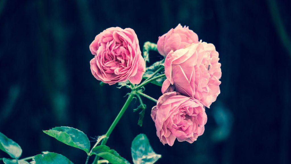 Can you freeze rose petals